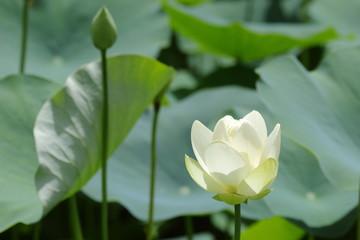 白いハスの花