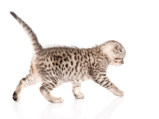 scottish kitten walking. isolated on white background