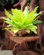 Fern in pot  for wood decoration