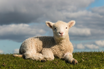 basking little lamb