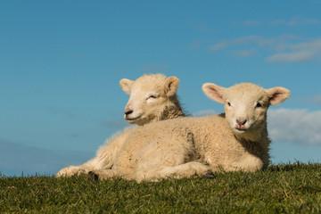 basking lambs against blue sky