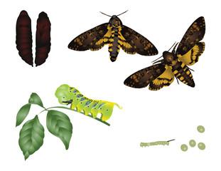 Life of moth