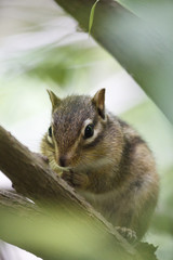 Chipmunk on tree (shimarisu)