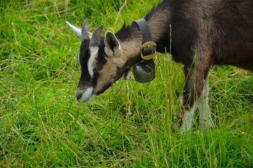 Junge Ziege auf Wiese