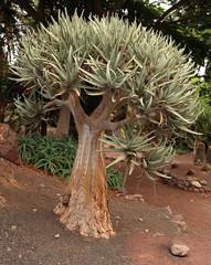 aloe arbre