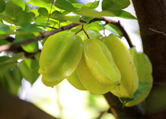 Green and yellow star apple fruit carambola on the tree
