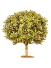 Boxwood green tree