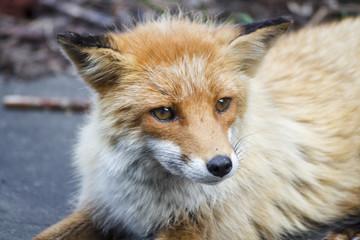 Fox (Kitakitune)