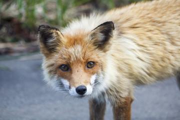 Fox on the road (Kitakitune)