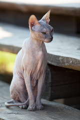 Don Sphynx cat sitting on wooden porch