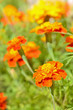 Tagetes flowers in garden