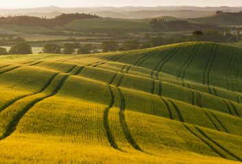 Field of wheat in the rays of the rising sun. Tuscany.