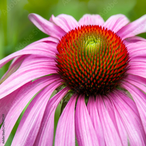 canvas print picture Echinacea