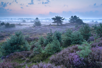 flowering heather in misty morning