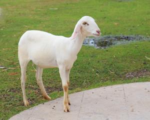 young sheared sheep in farm