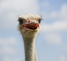 Head of an ostrich against blurry clouds