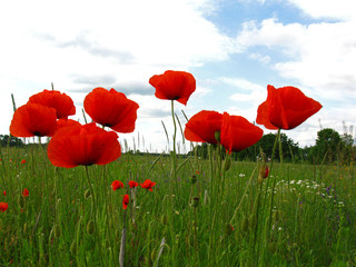 Blossoming red poppies (papaver) on green field