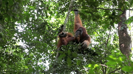 Male orangutan resting in tree nest in Sumatran rain forest