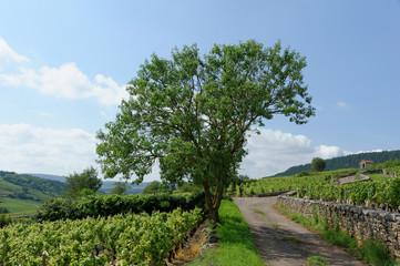 vignoble de Bourgogne 2