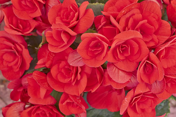 vibrant begonias closeup, natural background