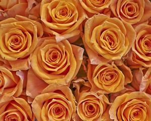 orange roses closeup, natural background