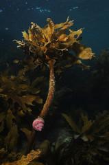 Cook's turban shell on kelp Ecklonia radiata