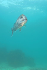 Snapper Pagrus auratus in open water