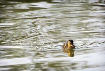 One little mallard duckling in the water
