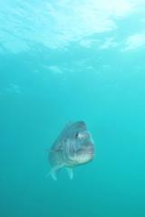 Snapper Pagrus auratus in open water
