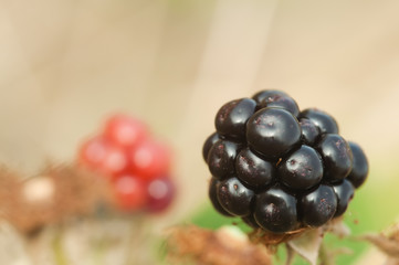 blackberry ripens on branch