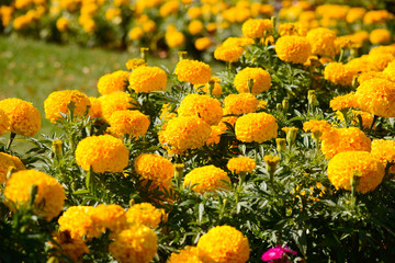 Yellow marigolds in the sun
