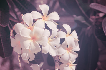 Vintage style of plumeria on tree.