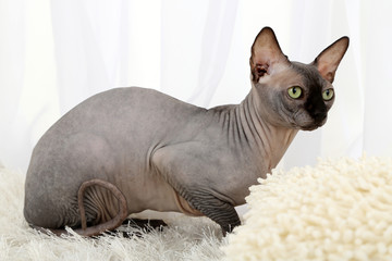 Beautiful gray sphinx cat on carpet in room