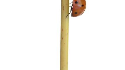 Ladybird climbing a branch then flies away