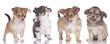 Vier Chihuahua Welpen