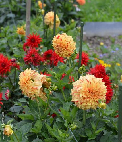 canvas print picture dahlia...floraison