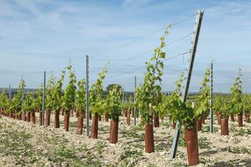 manchons de protection pour jeunes plans de vigne