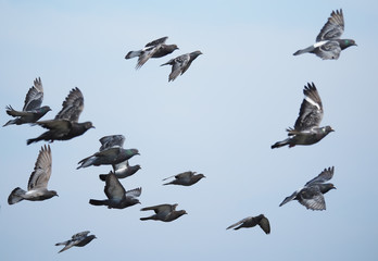 flock of pigeons in flight