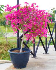 Pink bougainvillea flower in pot