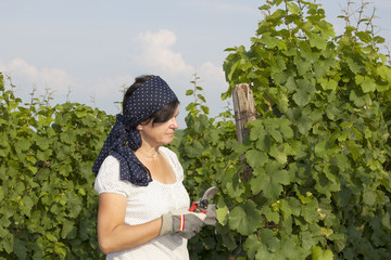 Woman with scissors works in the vineyard