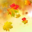 Ahornblätter im Wind
