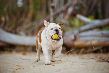 dog running with a tennis ball