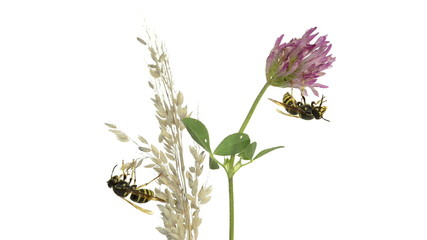 Wasps on flower