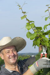 Man with scissors works in the vineyard