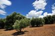 Leinwandbild Motiv Olive trees, Greece