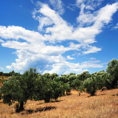 Olive trees. Greece, Sinthia