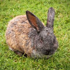 Großes Kaninchen mümmelt friedlich auf grüner Wiese