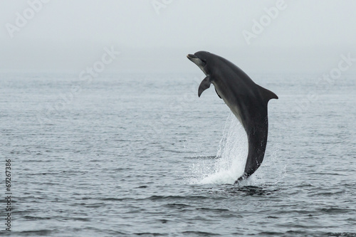 Fotobehang Dolfijn Bottlenose Dolphin (Tursiops truncatus) with Salmon