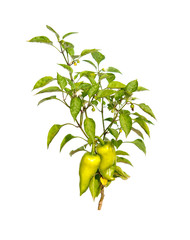 small pepper tree