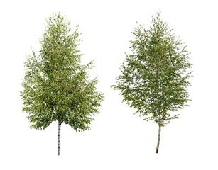 two birch